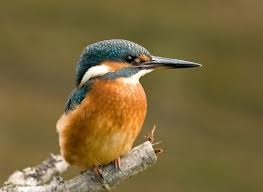 Kingfishers nest this summer