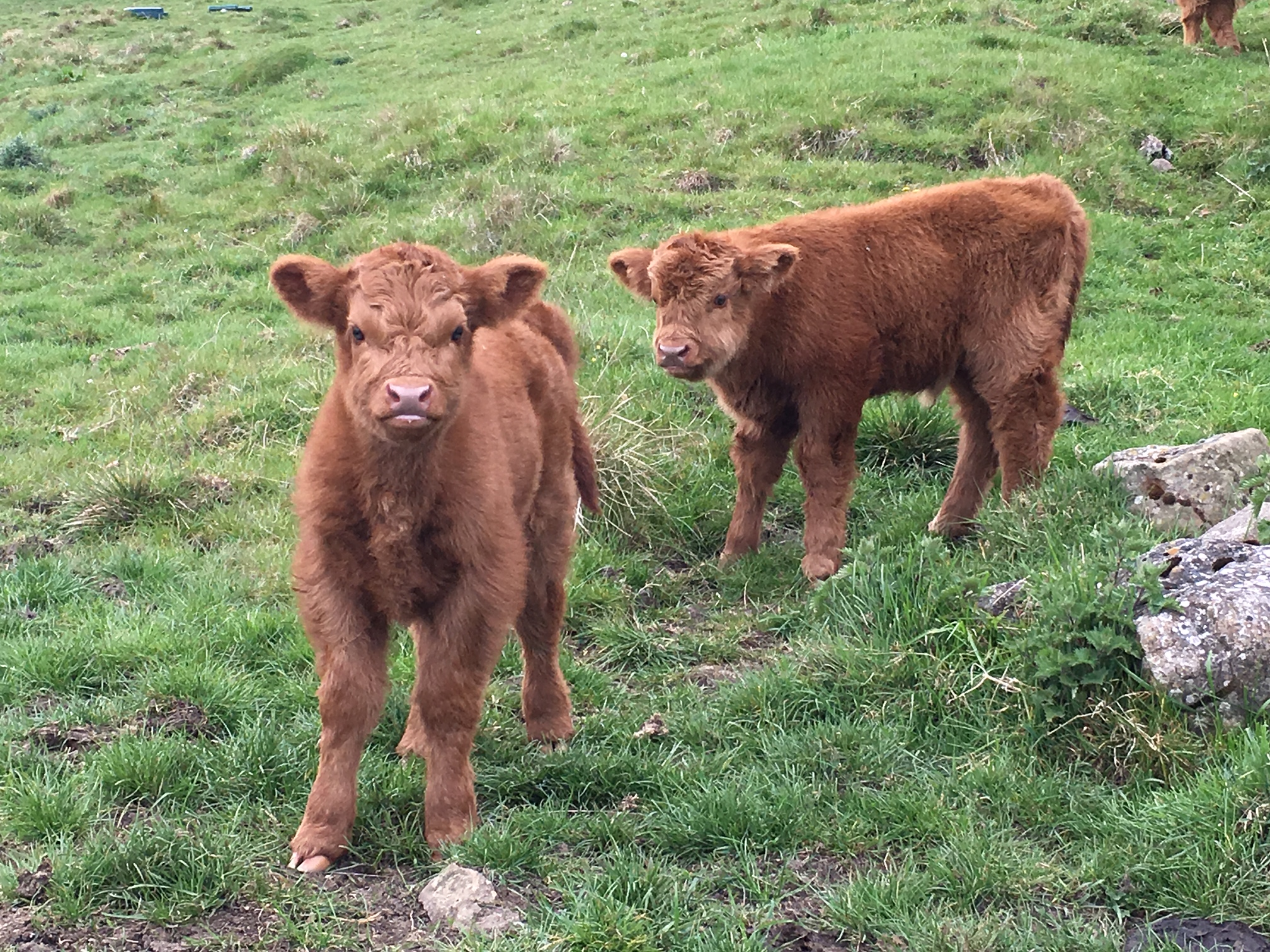 New Faces in our Highland Cattle Fold